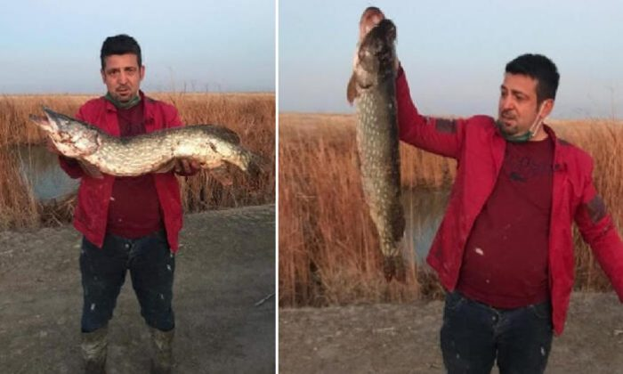 Dev turna balığı yakaladı!